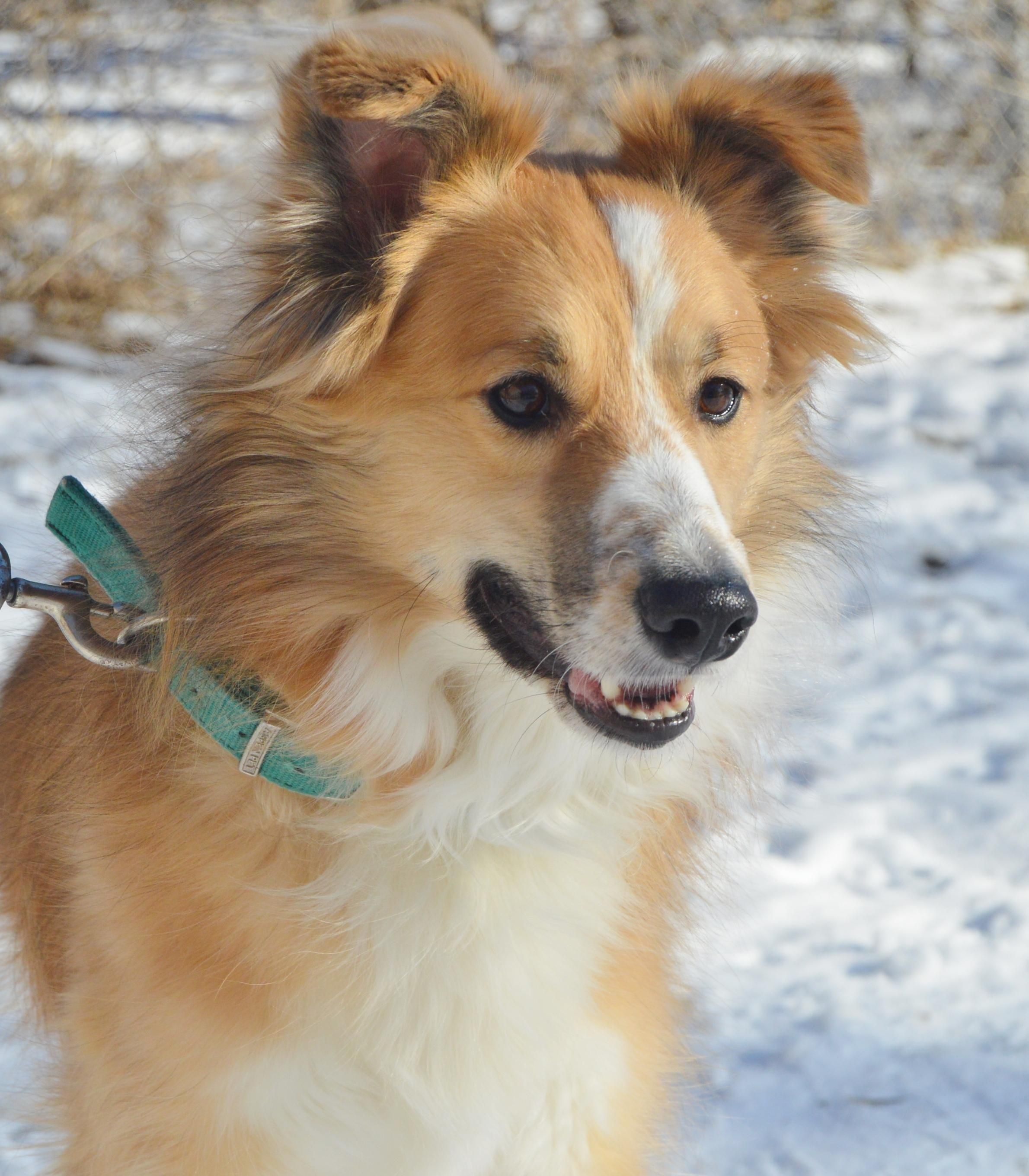 Adopt Corbin On Dogs Australian Shepherd Collie Mix