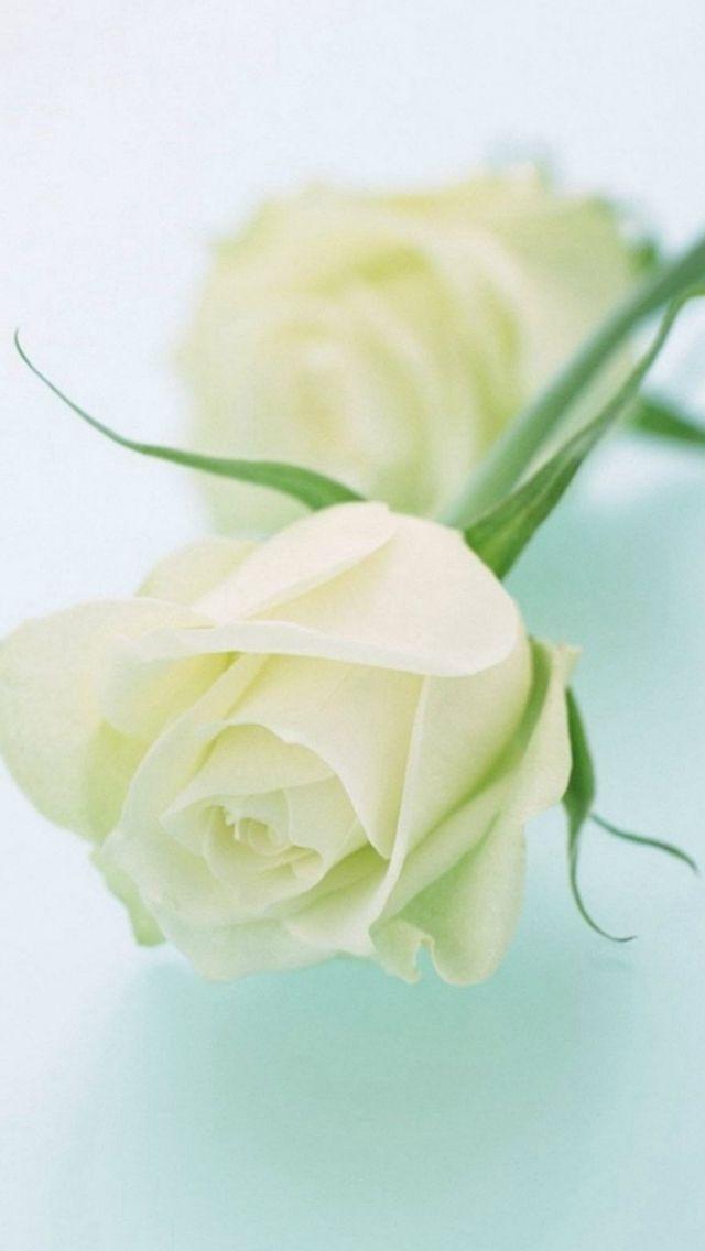 Pure elegant white rose flower iphone 5s wallpaper iphone se pure elegant white rose flower iphone 5s wallpaper 3d wallpaper flower iphone mightylinksfo