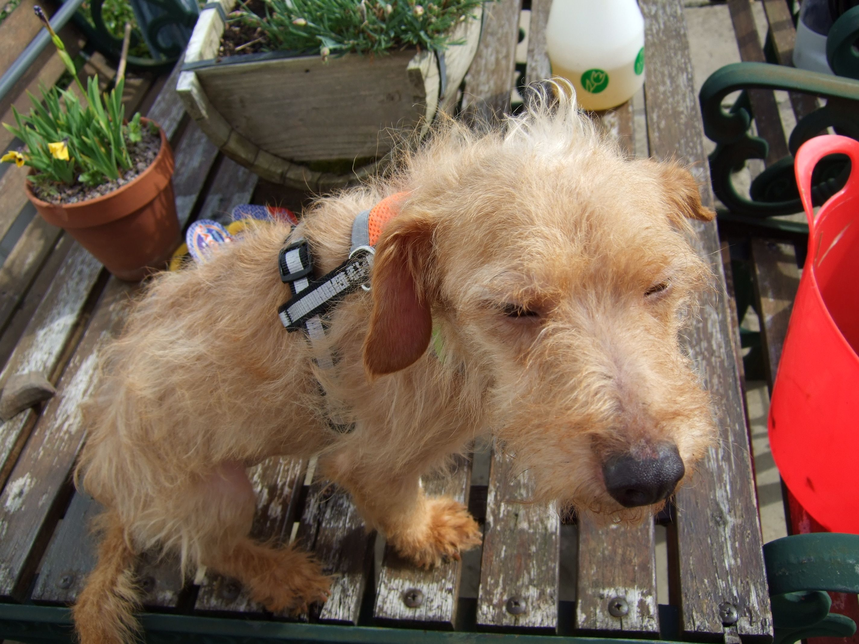 Toby A Rescued Podengo From Portugal Arrived Very Worried And Shut Down Animals Dogs Goats