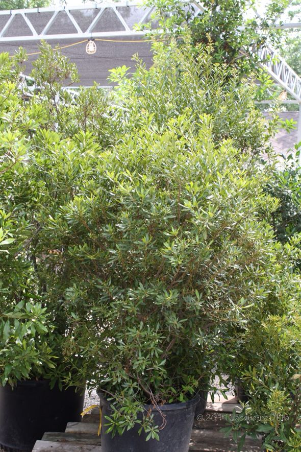 Southern Wax Myrtle Low Maintenance Plants Outdoor Native Plants Plants