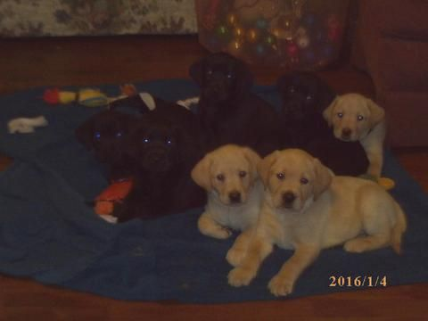 Litter Of 8 Labrador Retriever Puppies For Sale In Groton Ny Adn 56450 On Puppyfinder Com Gend Labrador Retriever Puppies Puppies For Sale Labrador Retriever