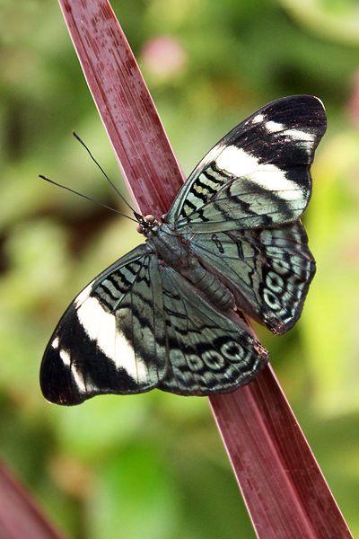 Não desacredite da feiura da lagarta, ela poderá se tornar uma linda borboleta. www.dedetizadoratserv.com.br
