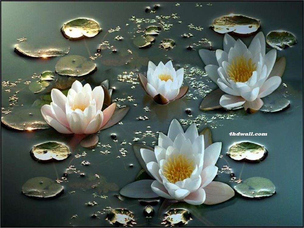 Best Beautiful Hd Wallpapers For Laptop Bunga Teratai 640 x 480