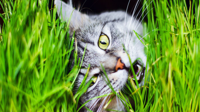 Now We Officially Know Why Cats Eat Grass Cats, Cat