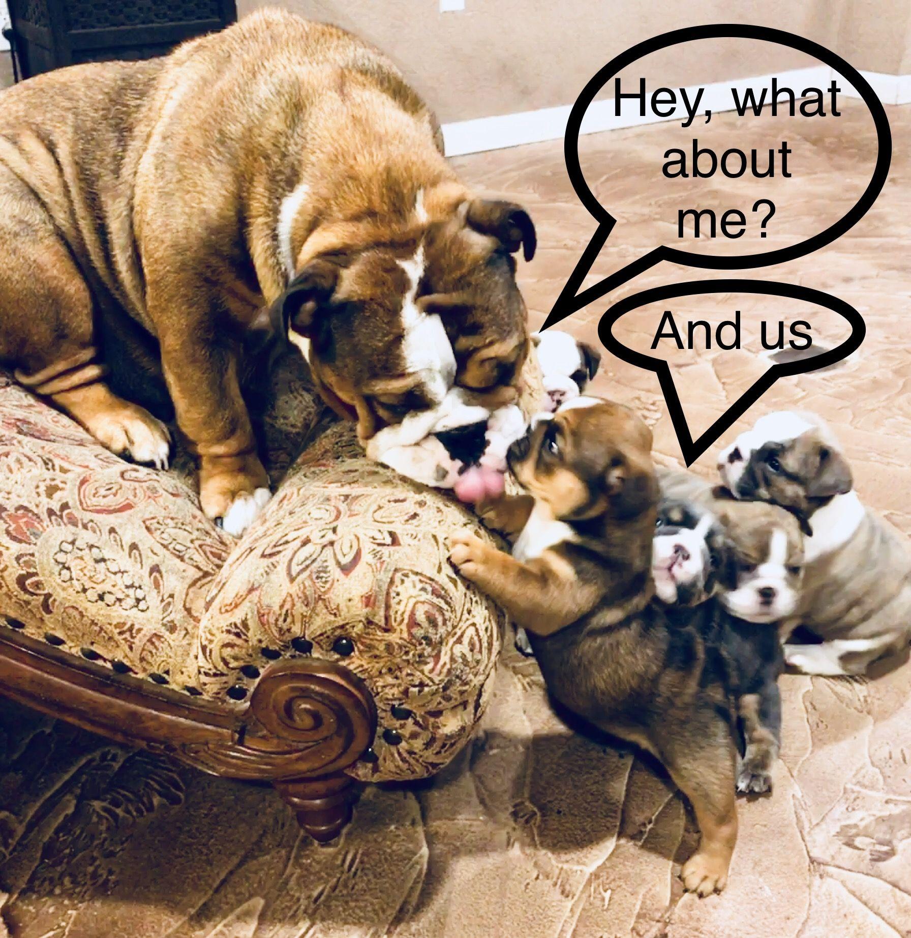 Pin By Amista Salcido On Akc Registered English Bulldog Puppies