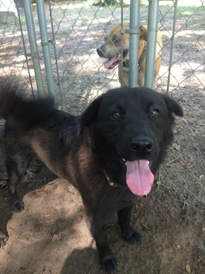 Adopt Chanel on Best dogs, Flat coated retriever, Dogs