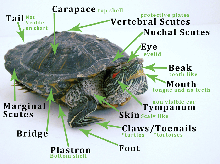 Determine What Type Of Turtle Or Tortoise You Have Find Out If It S A Land Water Or Box Species And Get Specifics On Carin Types Of Turtles Pet Turtle Turtle