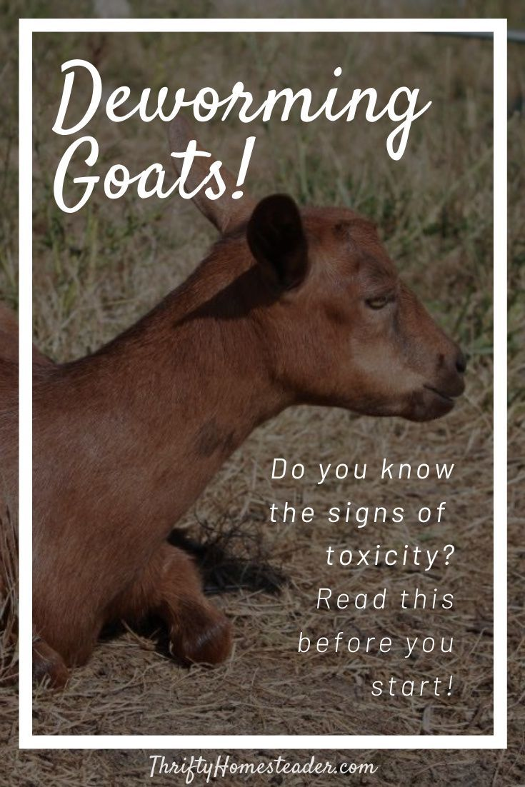 Deworming goats the thrifty homesteader in 2020 goats