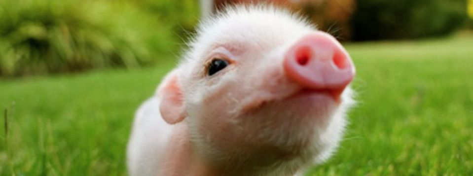 Teacup pig farm is the 1 site for finding out about teacup pigs teacup pig farm is the 1 site for finding out about teacup pigs micro voltagebd Choice Image