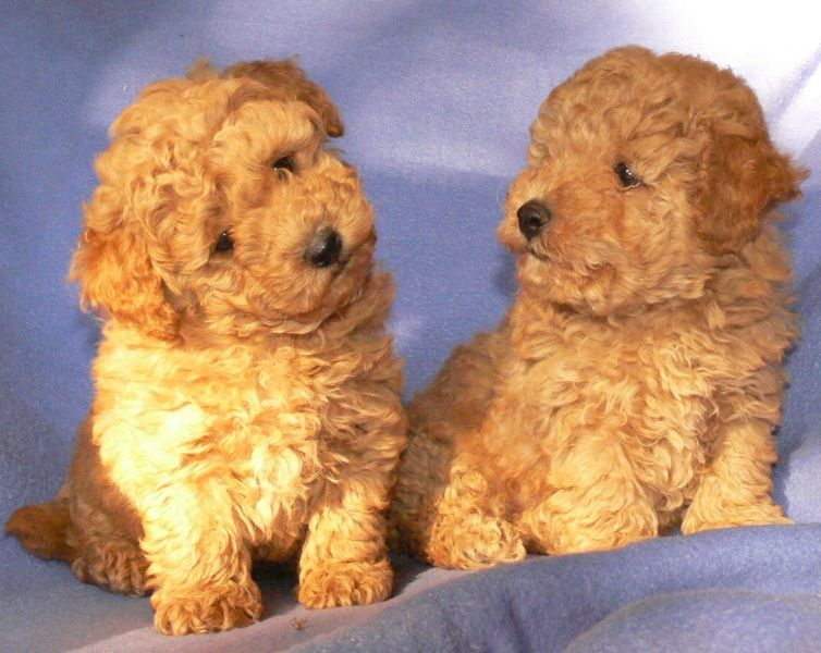 Toy Bichon Frise For Sale Toy Poodle Cross Bichon Frise For Sale Ad They Our Are Mocha Hues Bichon Frise Puppy Cute Stuffed Animals Puppies