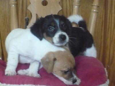 Papijack Hybrid Papillon Jack Russell Mix I Love Dogs Dogs