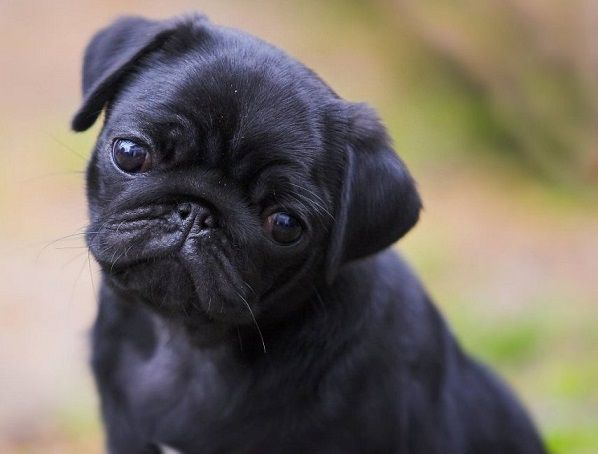 Sept 27th A New Friend Added Carlito Black Pug Puppies Baby