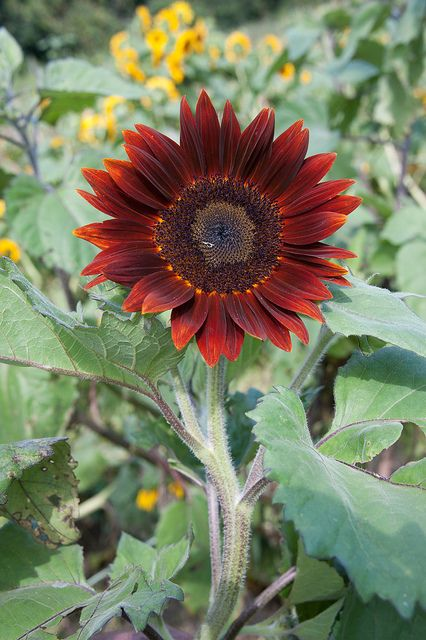 Sunflower Moulin Rouge | Red sunflowers, Sunflower colors ...