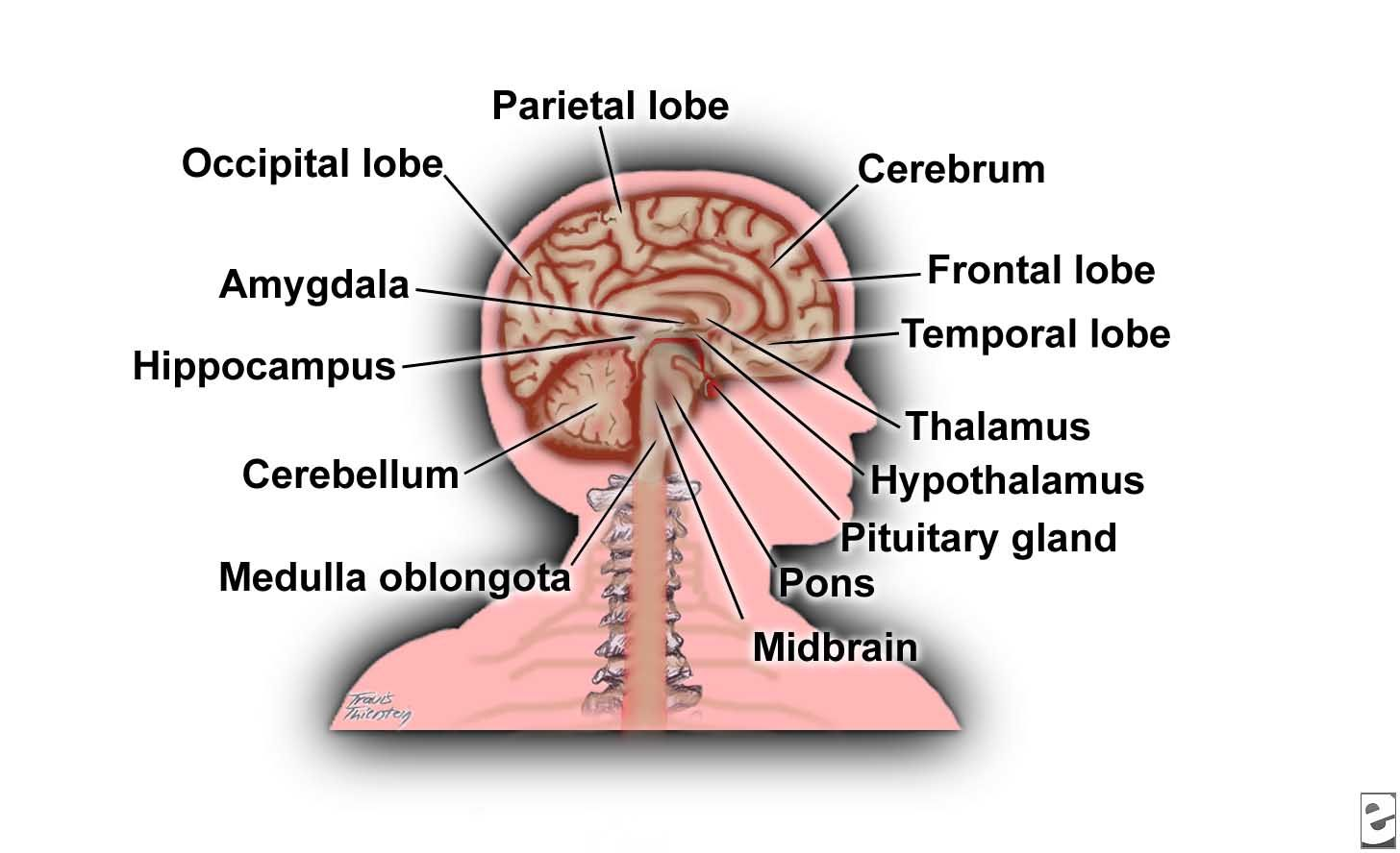 Labeled Parts Of The Brain Koibana Info Brain Diagram Human Brain Diagram Human Brain