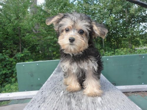 Adorable Yorkiepoo Puppy She Is 12 Weeks Old Yorkie Poo Puppies Dogs And Puppies