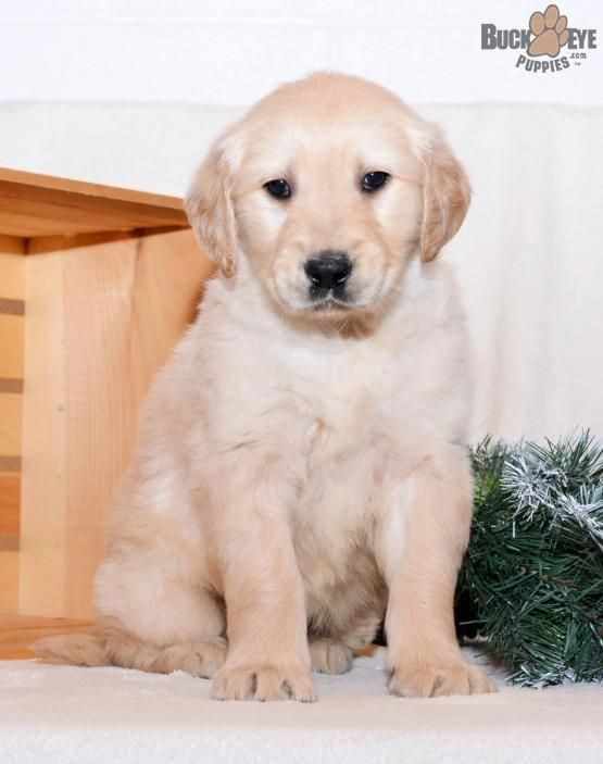 Figure Out Even More Info On Golden Retriever Puppies Look Into
