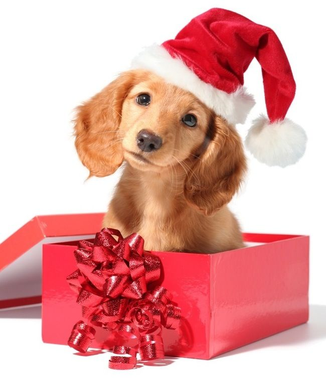 December, Christmas Puppy And