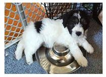 8 week black and white  puppy laying over food bowl