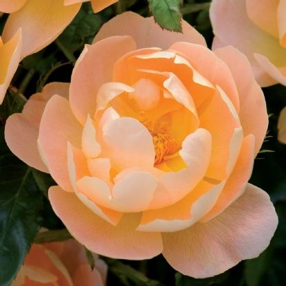 The Lark Ascending - David Austin Roses. The name is taken from Ralph Vaughan Williams' piece of music, which was recently voted Britain's favorite by listeners to the BBC radio program, Desert Island Discs. Semi-double, cupped blooms. Exceptionally healthy and vigorous.