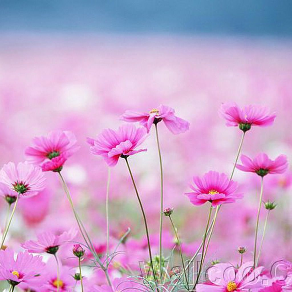 Happy Galsang Flower Field Blur #iPad #wallpaper
