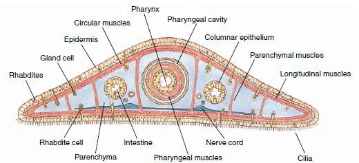 Planarian Cross Section Epidermis Biology Cavities