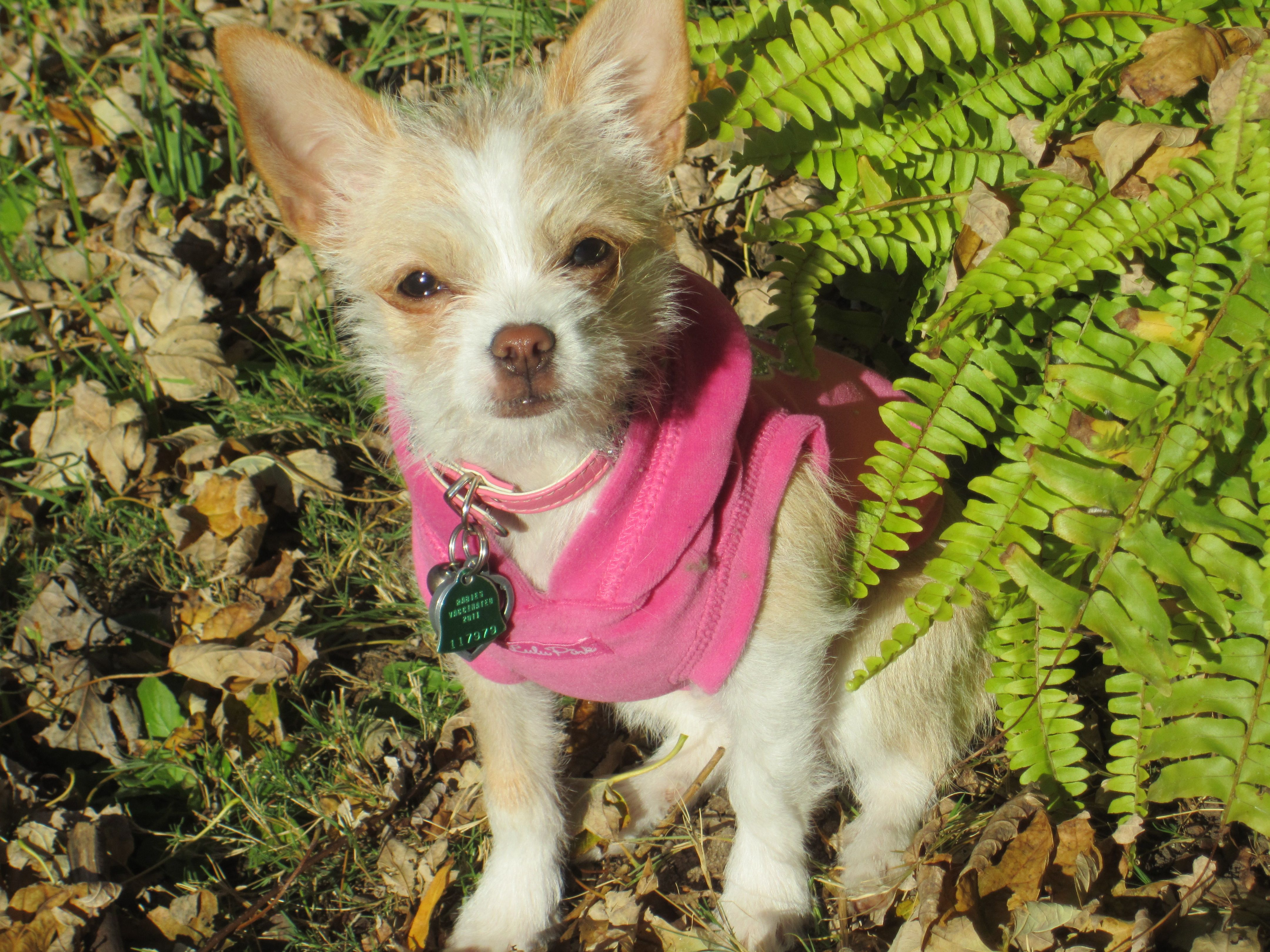 Dutchess Is A Long Haired Chihuahua She Is Still In Her Scruffy