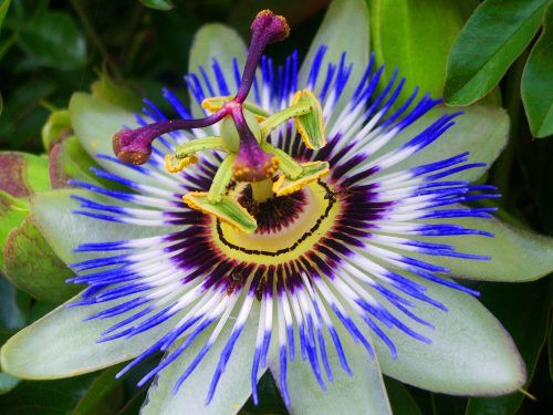 High Resolution Picture Of Passion Flower In Close Up Hd Wallpapers Wallpapers Download High Resolution Wallpapers Passion Flower Passion Fruit Flower Flowers