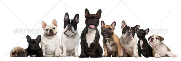 Group of French bulldogs in front of white background by Lifeonwhite Group of French bulldogs in front of white background