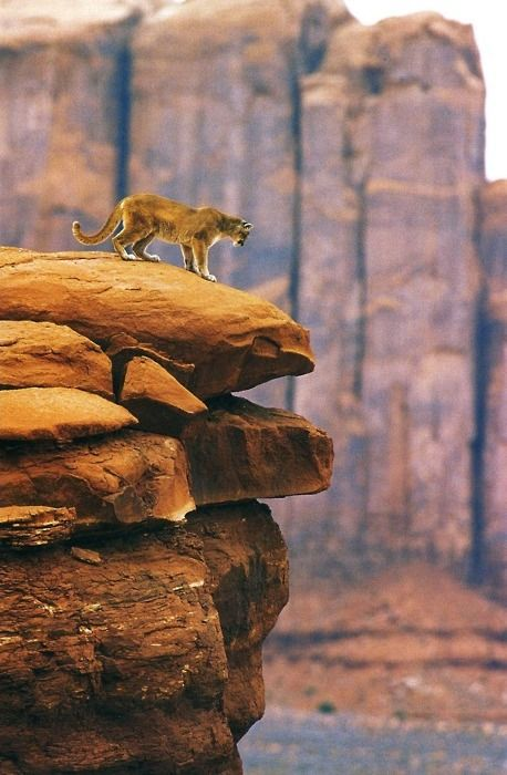 The original Lion King                 (Source: naniithran, via amur-leopard)