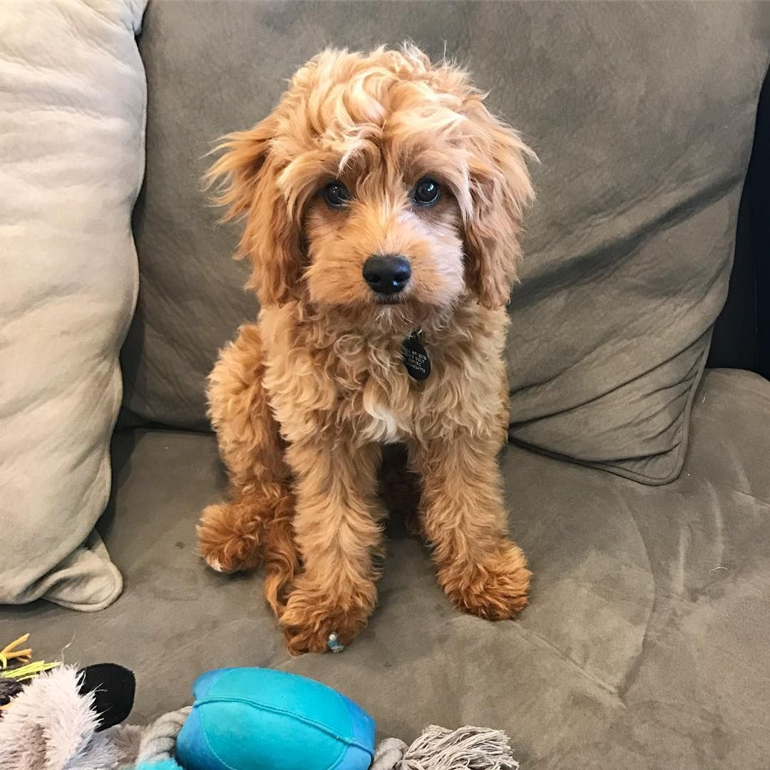 Everything You Need To Know About A Cavapoo Cavapoo Cavapoopuppies Cutepuppies Dogs Cavapoo Puppies Puppies Cavapoo