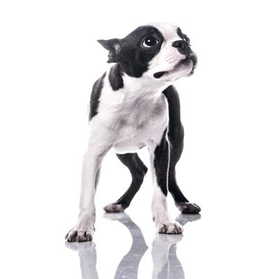 10 Things Only A Boston Terrier Owner Would Understand Boston
