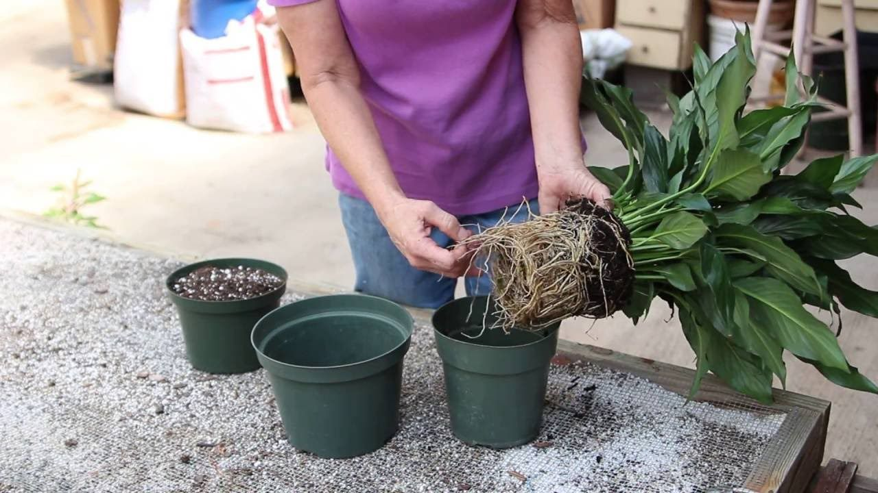 How to repot a peace lily house plant care peace lily