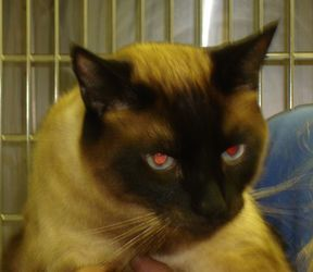 CHAN>>>MOUNDSVILLE, WV>>>Chan is an adoptable Siamese Cat in Moundsville, WV. Chan, #66518, is a 3-yar old Siamese. He has a lovely Seal Point coat and beautiful blue eyes. Chan is a loving boy seeking a loving home. The Ma...