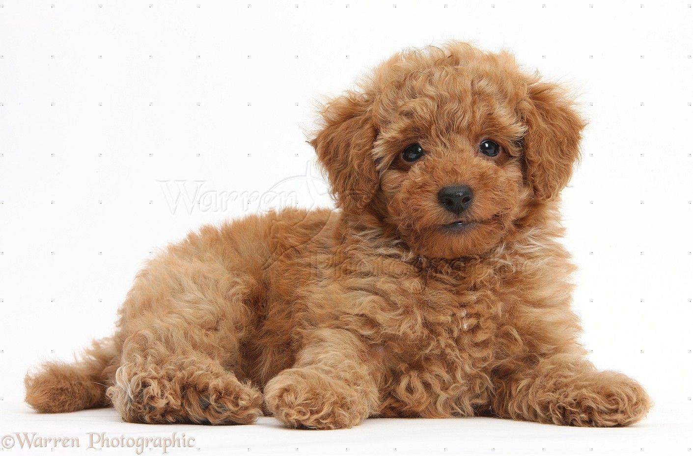 Dog Cute Red Toy Poodle Puppy Photo Poodle Puppy Cute Small Dogs Toy Poodle Puppy