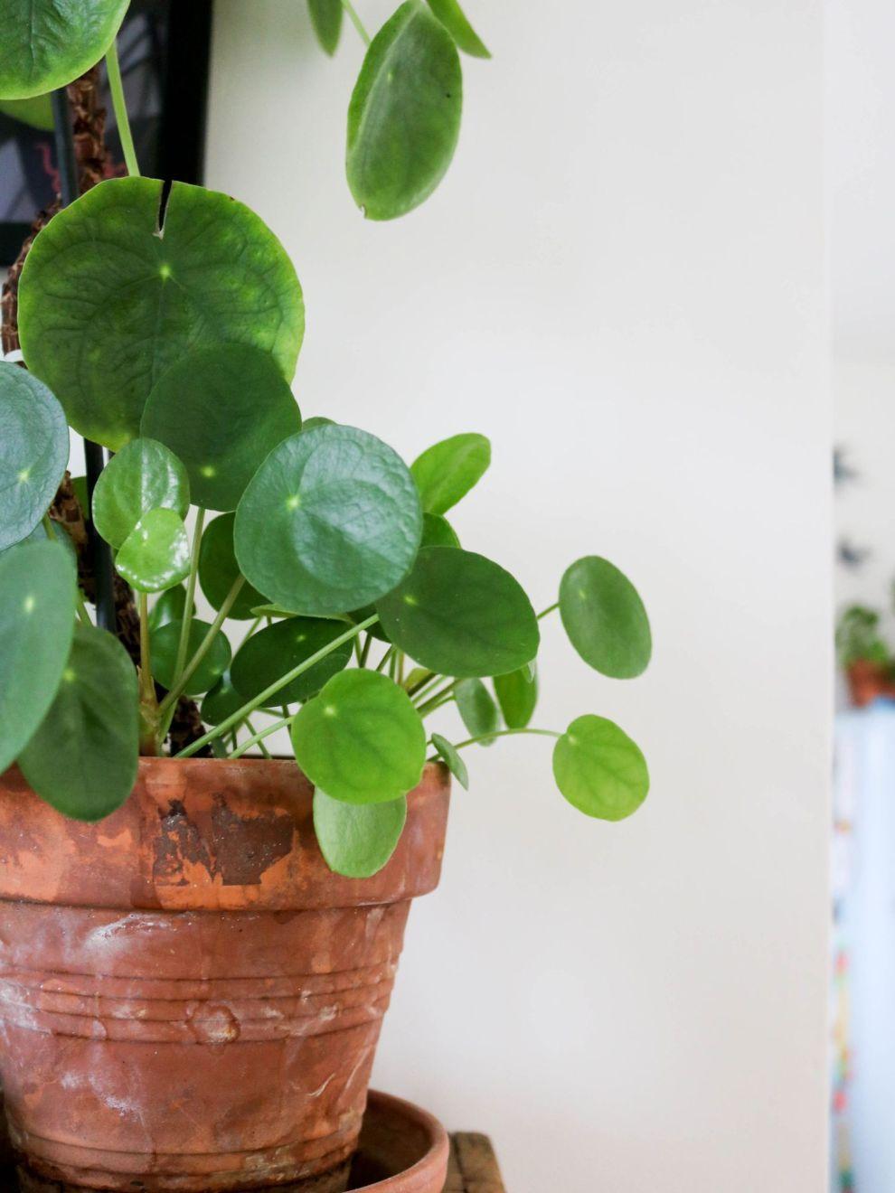 entretenir entretien une pilea 8 plantes. Black Bedroom Furniture Sets. Home Design Ideas