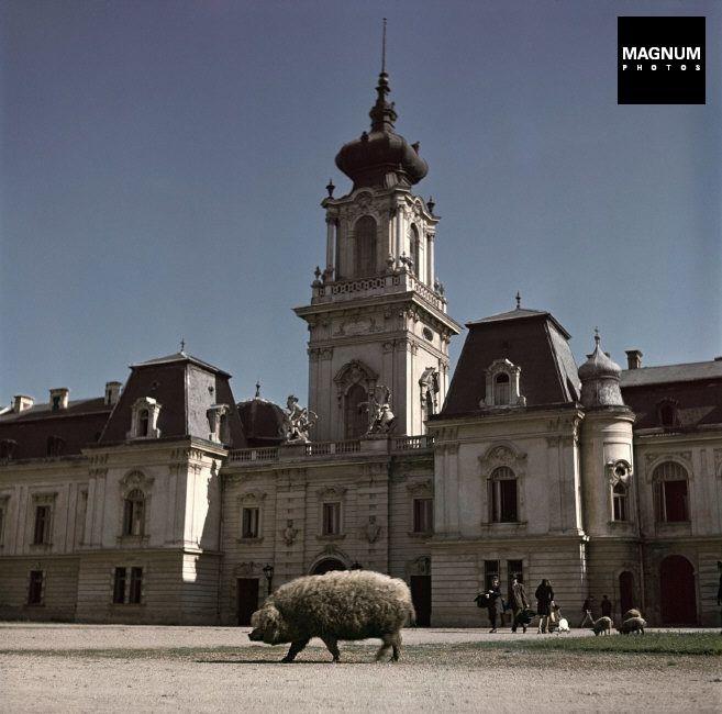 HUNGARY. Keszthely, 1948. Pig in front of Festetics Palace//Robert Capa