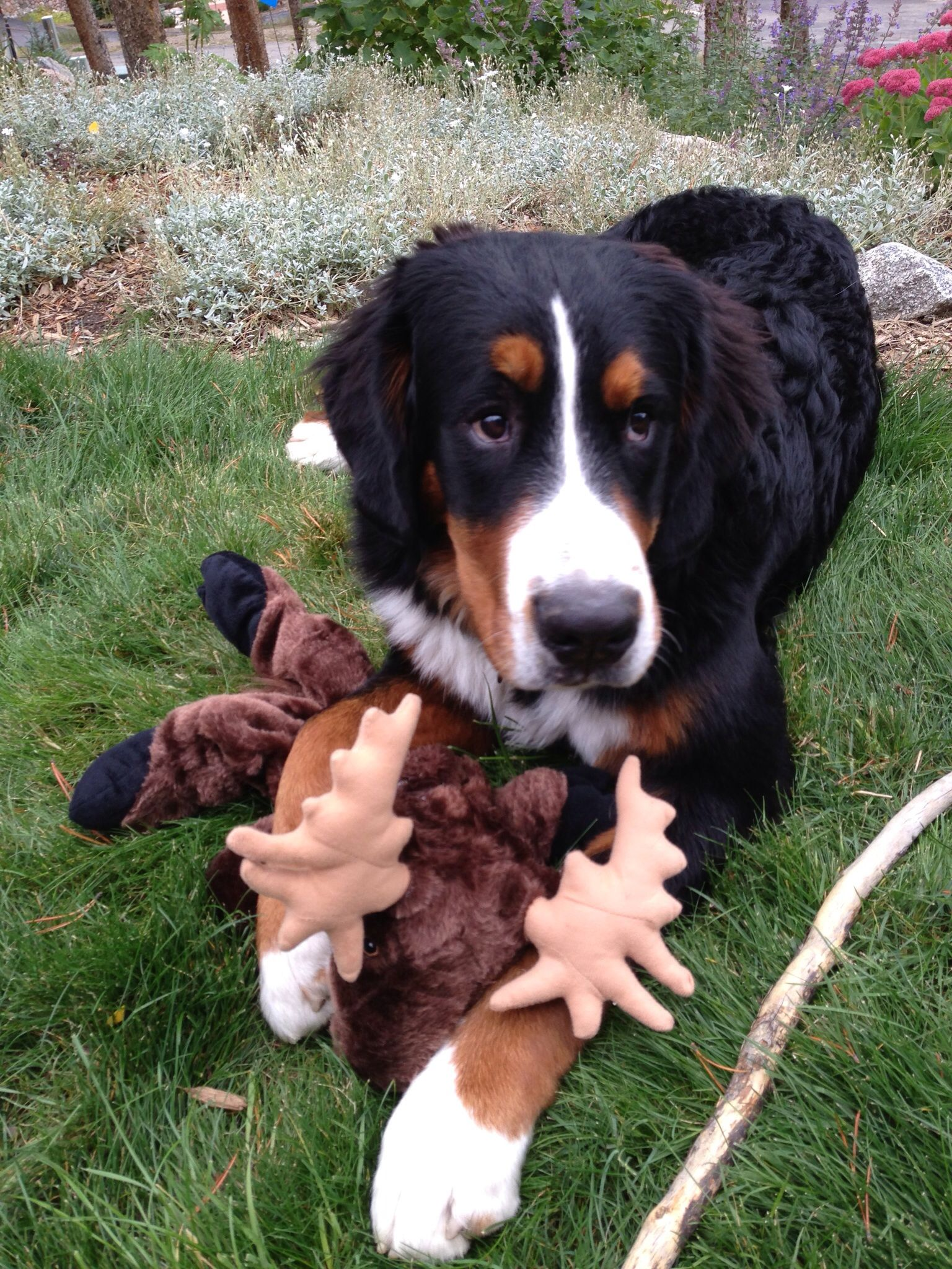 Bernese Mountain Dog Bernese Mountain Dog Furry Friend Dogs