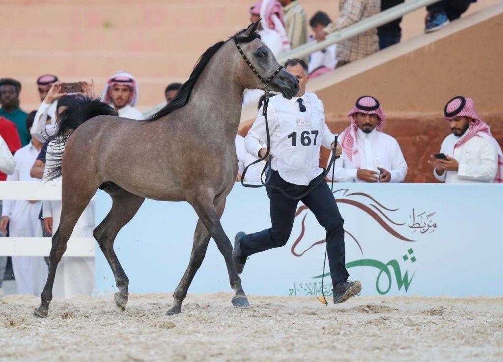 النتائج النهائية لبطولة حائل لجمال الخيل العربية 2019 Arabian Horse Akhal Teke Horses