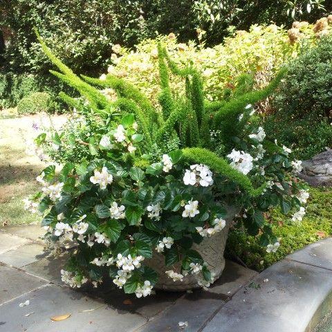 Boxwoods White Begonias With Asparagus Fern Asparagus Fern Boxwood Garden Garden Containers