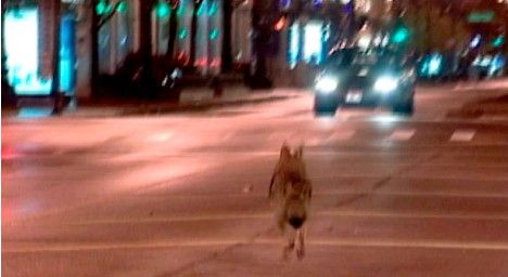 Chicago using radio-collared coyotes to control rodents...pretty sweet!