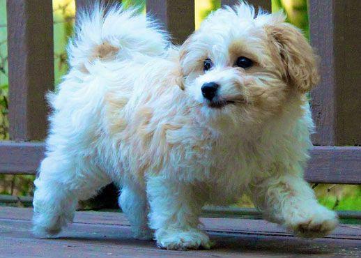 Cavanese Cavachon Cavachon Puppies Puppies