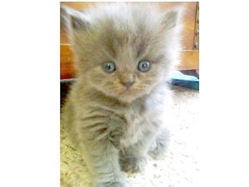 HIMALAYAN & PERSIAN KITTENS Blountville TN Kittens