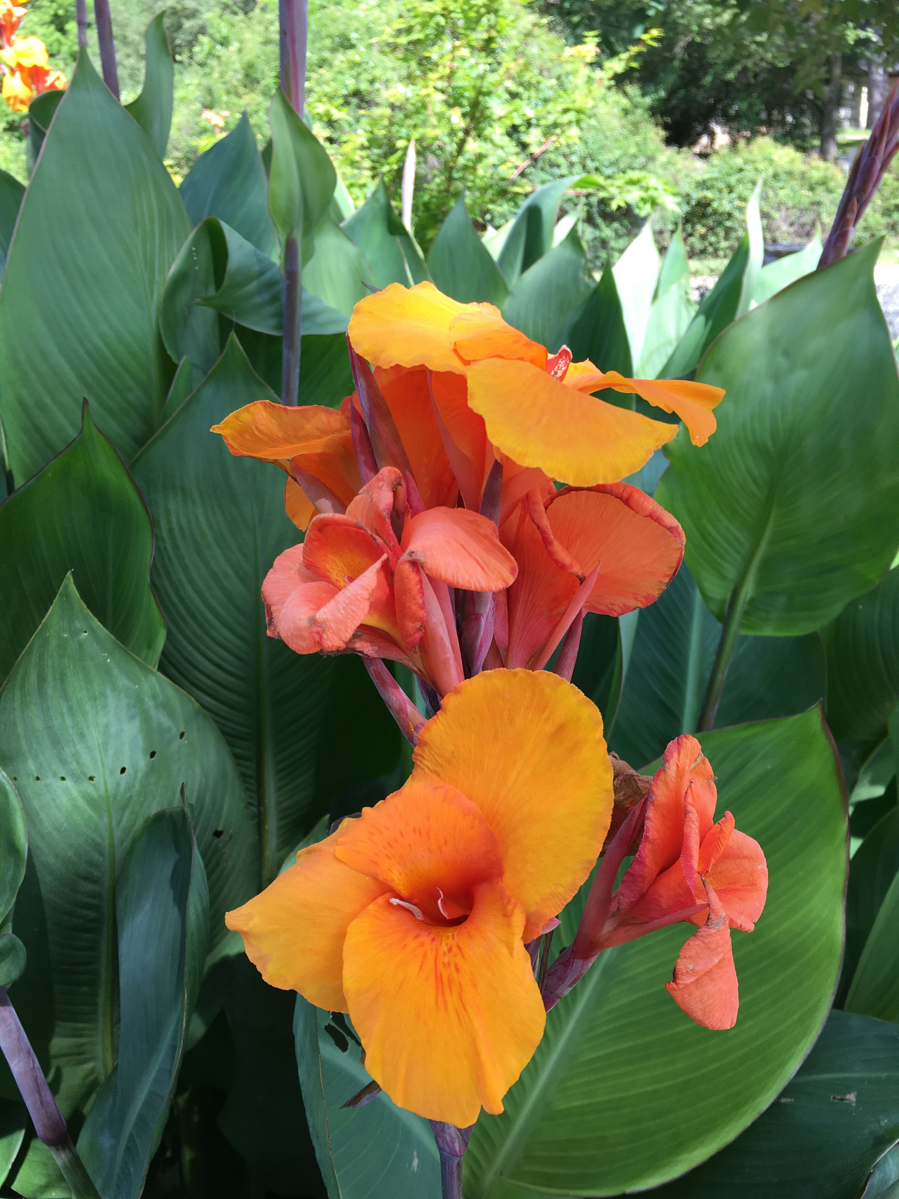 Canna indica canna lilies grows 4 8ft full sun perennial canna indica canna lilies grows 4 8ft full sun perennial tuber popular summer bulb blooms summer fall flower is not edible but tubers and izmirmasajfo