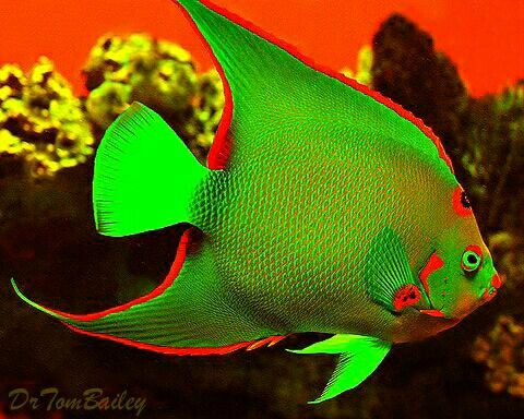 christmas queen angelfish cool fake fish pinterest saltwater