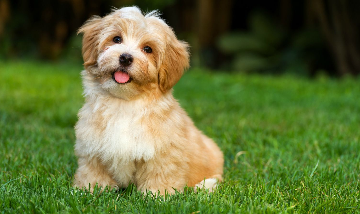 CT Breeder on Havanese puppies, Havanese dogs, Havanese