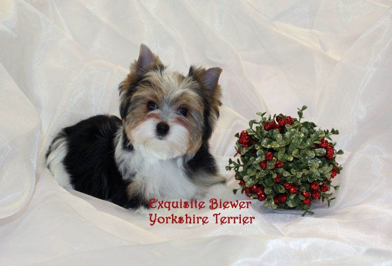 Yorkshire Terrier Image In 2020 With Images Yorkshire Terrier Puppies Yorkshire Terrier Yorkshire Terrier Dog