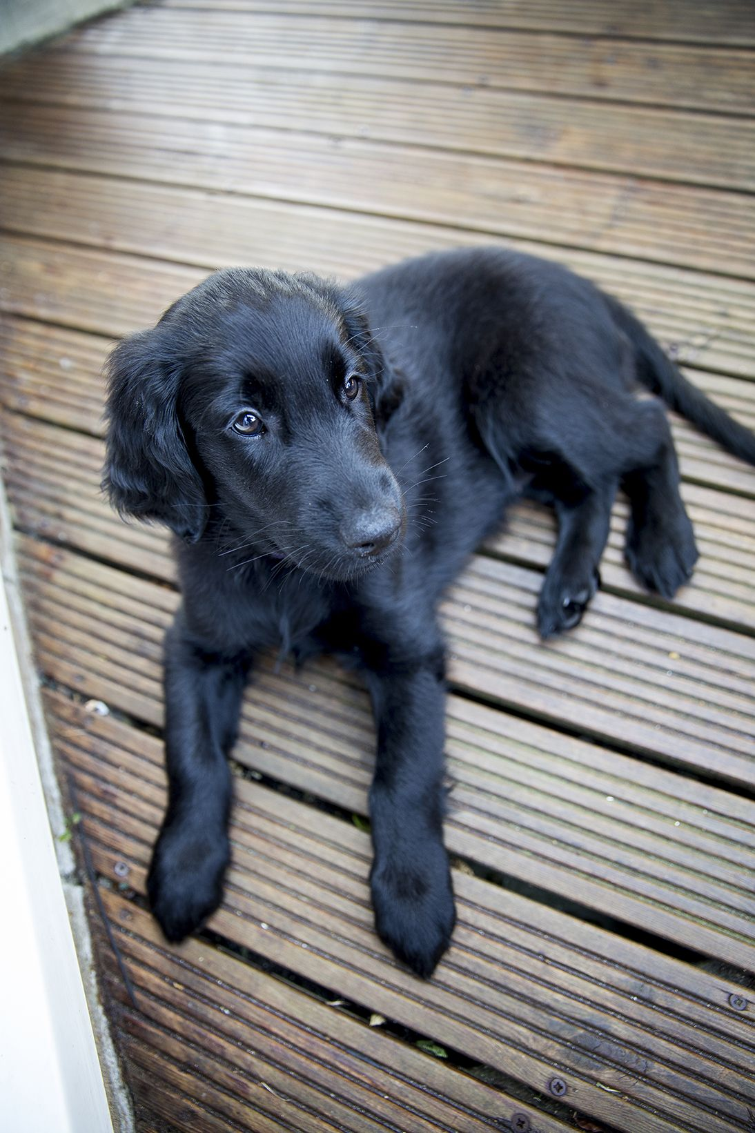 Flatcoated Retriever Puppy 9 Weeks Puppies And Kitties Flat