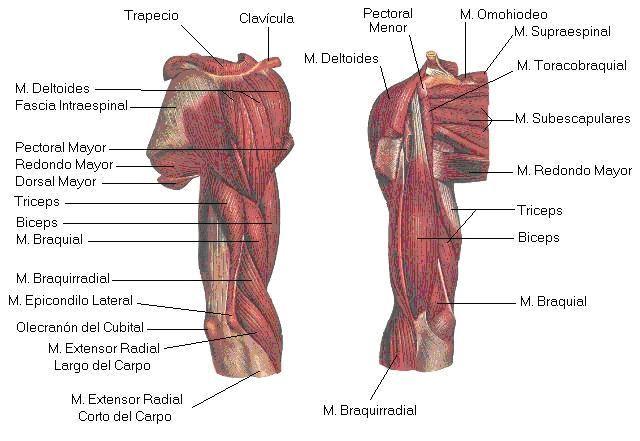topografia de miembro superior a nivel del hueso humeral | Anatomia ...