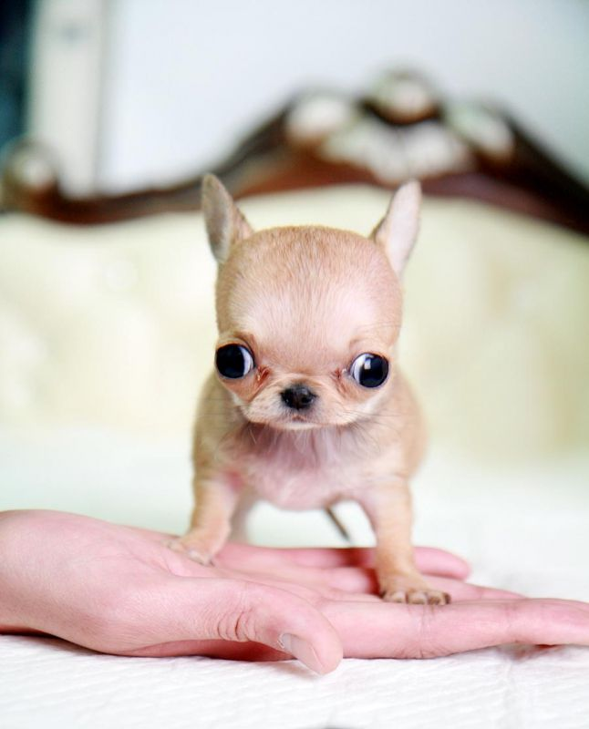 chihuahua kills baby micro macadamia is one of the tiniest pocket size poms 1330