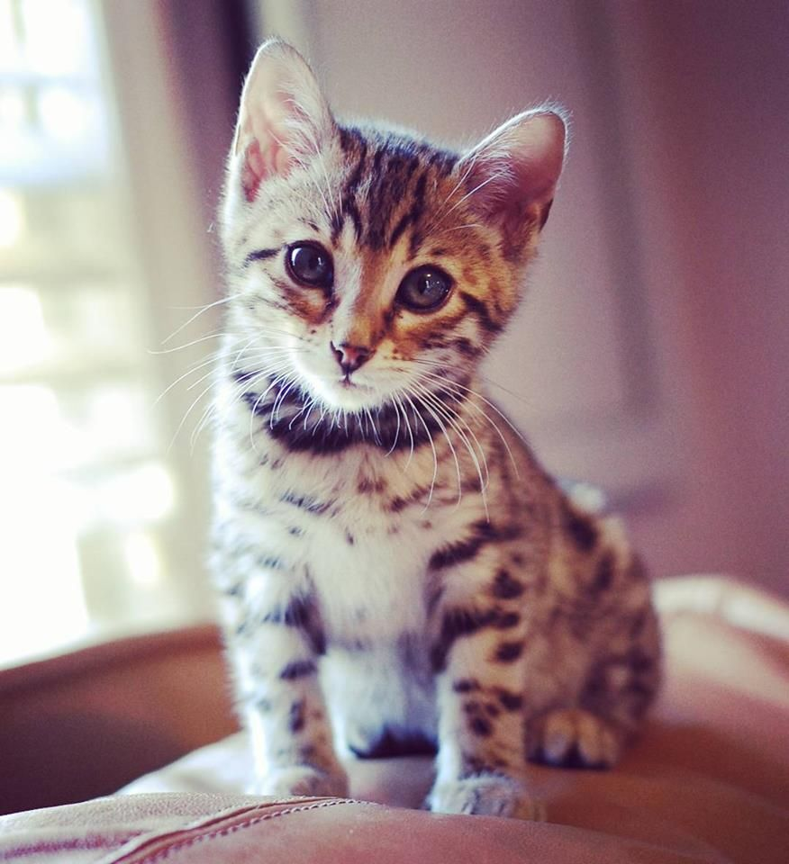 Bengal Baby Kitten Cute Cats And Kittens Baby Cats Cute Cats